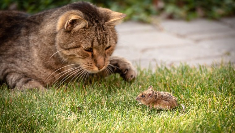 Wild cat plays with captured mouse on green grass. Beware of anticoagulant rodenticide poisoning.