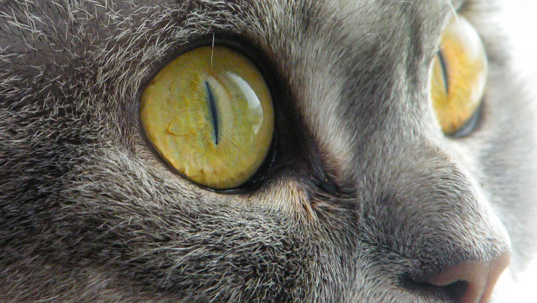 Big scottish cat with large open-eyed look at text. Scottish short-hair devious cat with yellow eyes. Gray marble color cat makes surprised face. Isolated cat face