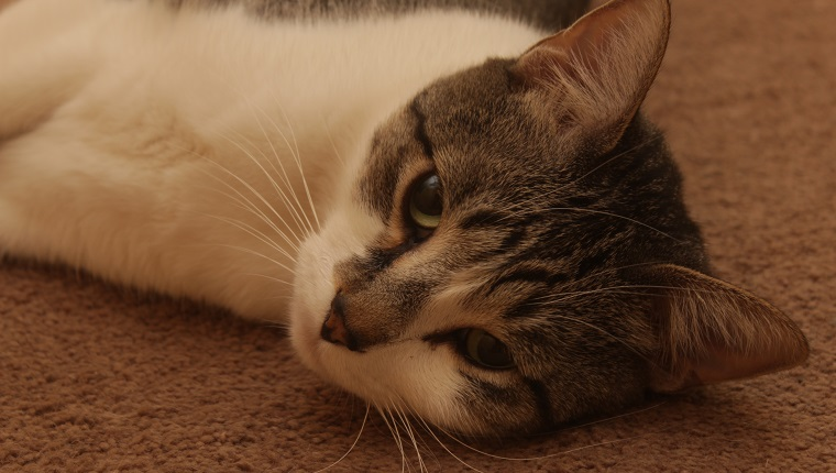 A cat laying on the floor. He's looking up into the camera.