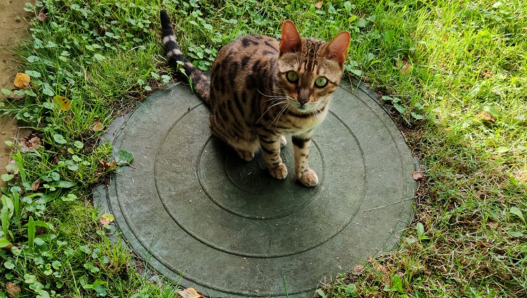 Bengal cat on the lid of the sewer manhole