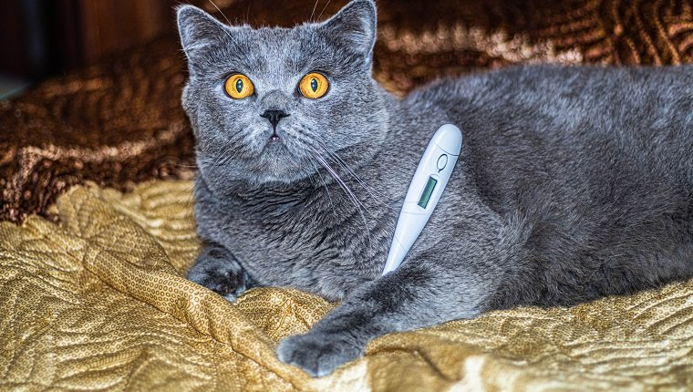 British cat lies on the bed with a thermometer. High quality photo