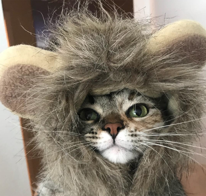 Lion Cat Is On The Hunt