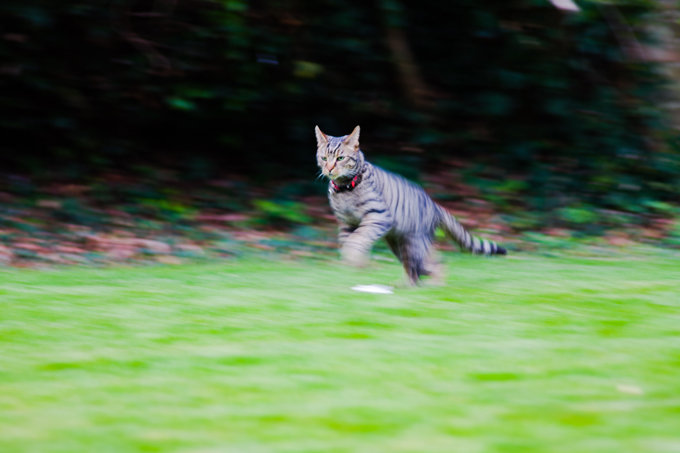 A cat can jump approximately seven times their height.