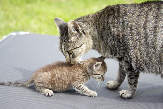 A female cat carries her kittens for about 58 to 65 days before they are born.