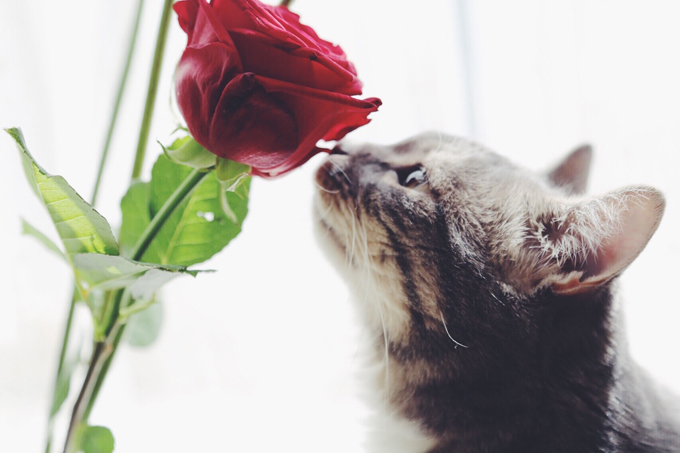 A cat's sense of smell is approximately 14 times greater than that of a human.