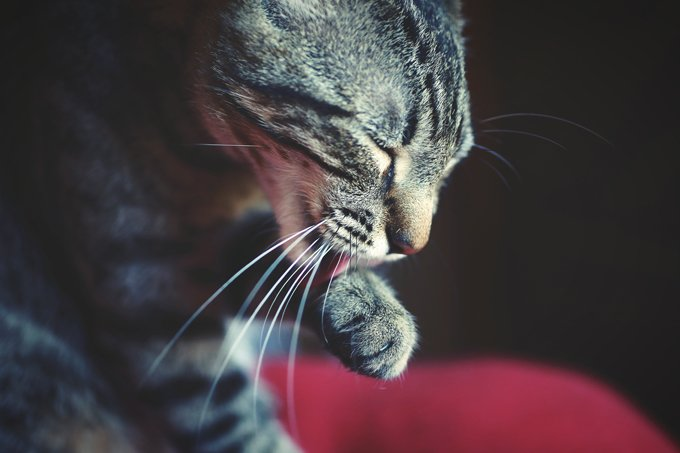 Cats have sandpaper-like tongues that they use to clean and groom themselves.