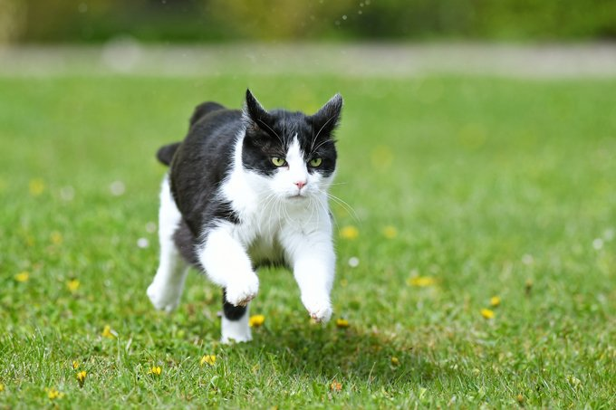 Cats can run up to 30 miles per hour.