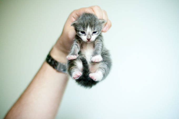 American Curl Cats And Kittens