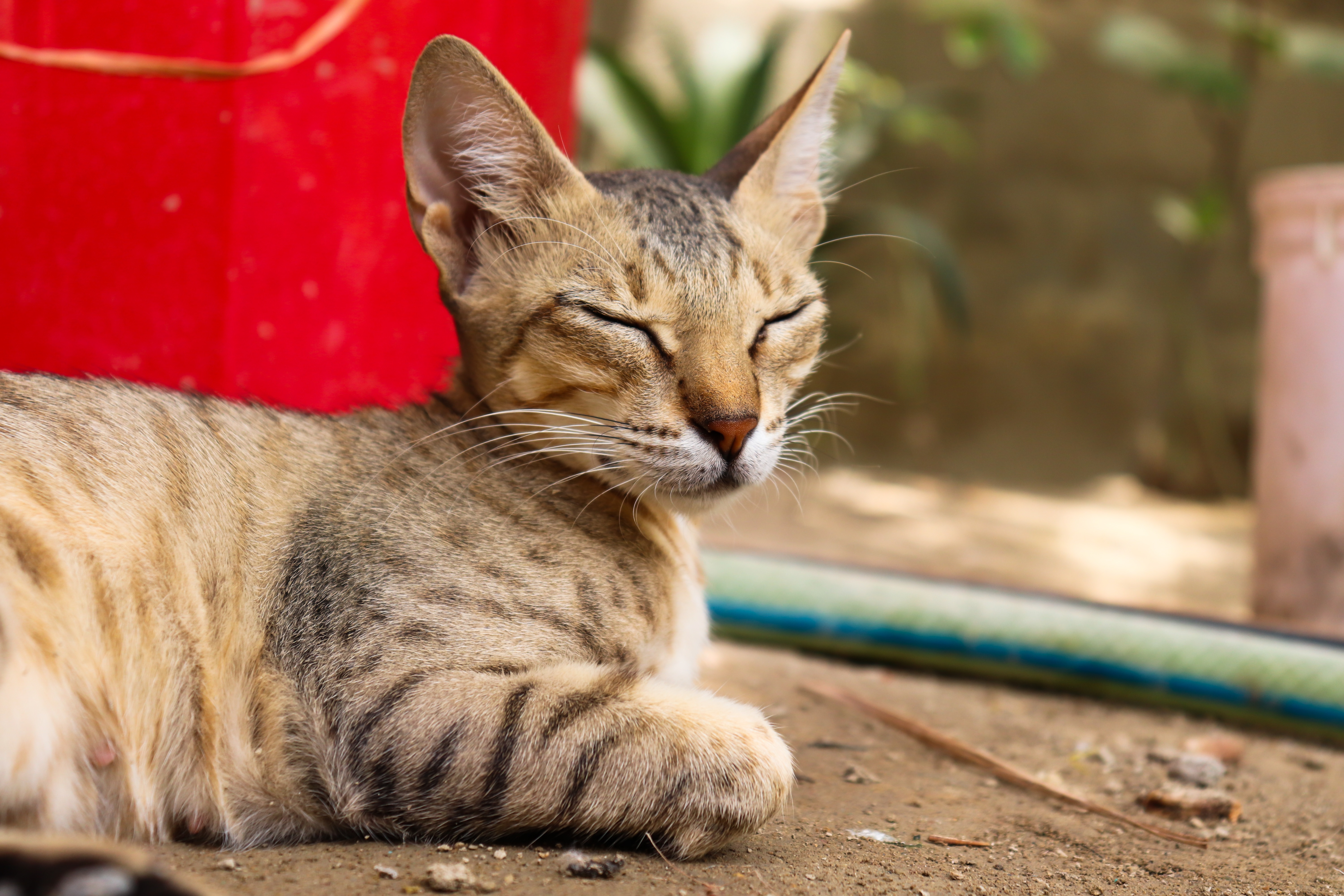 Asian Mixed Cat Breed Pictures
