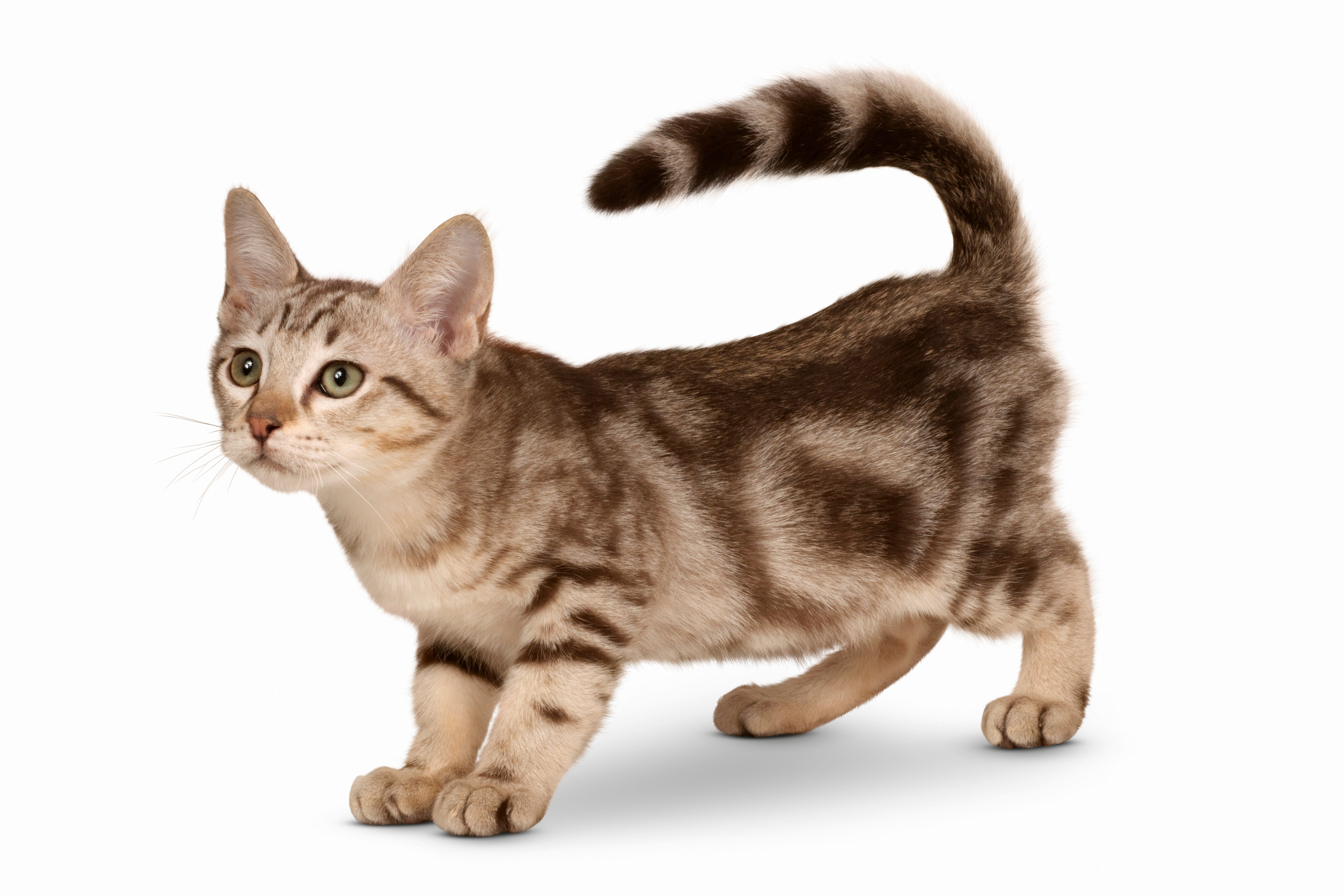 Australian Mist Mixed Cat Breed Pictures
