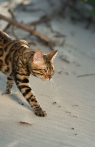Bengal Cats And Kittens