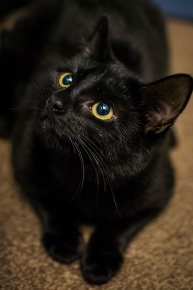 Bombay Cats And Kittens