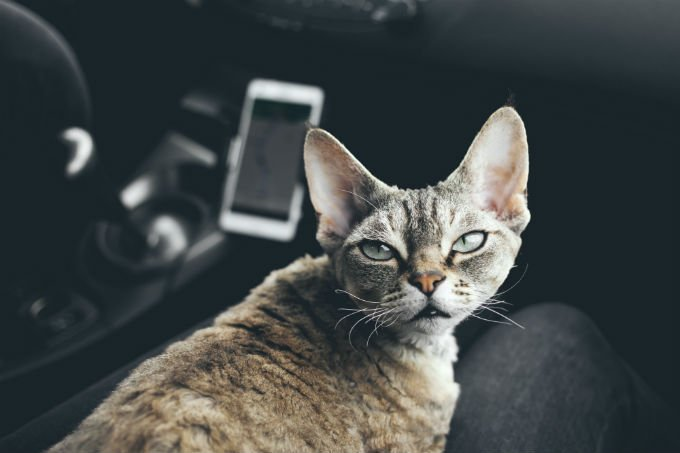 Devon Rex Cats And Kittens