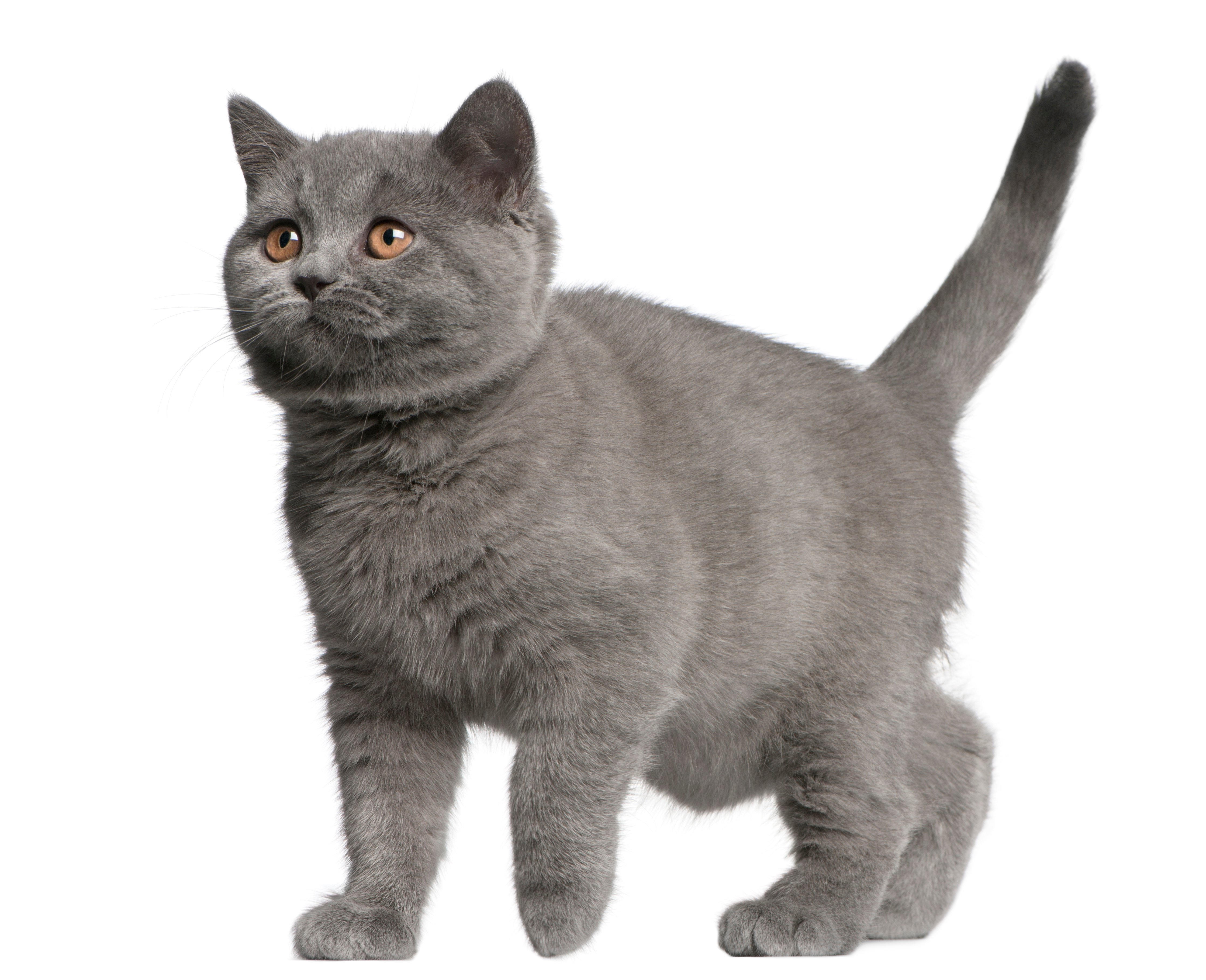 Brazilian Shorthair Cat Breed Pictures