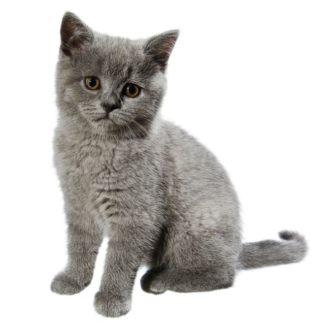 British Shorthair Cat Breed Information Pictures Characteristics Facts