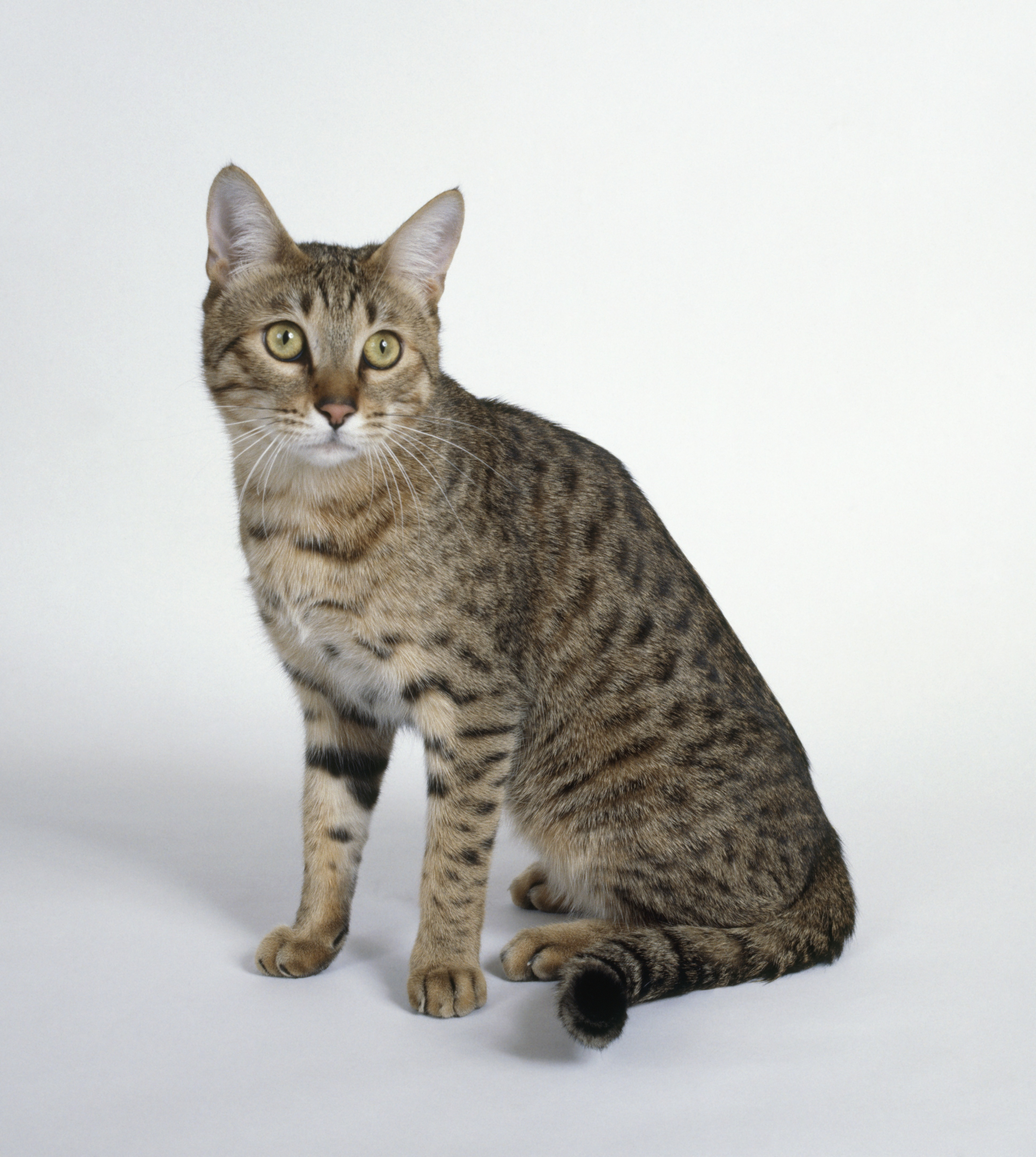 California Spangled Mixed Cat Breed Pictures