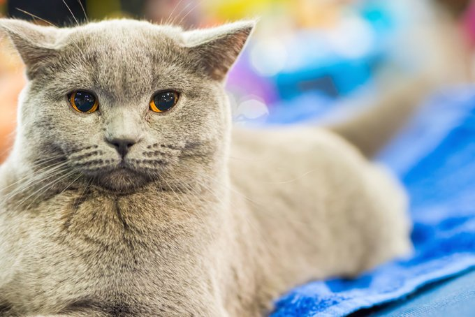 Chartreux Cats And Kittens