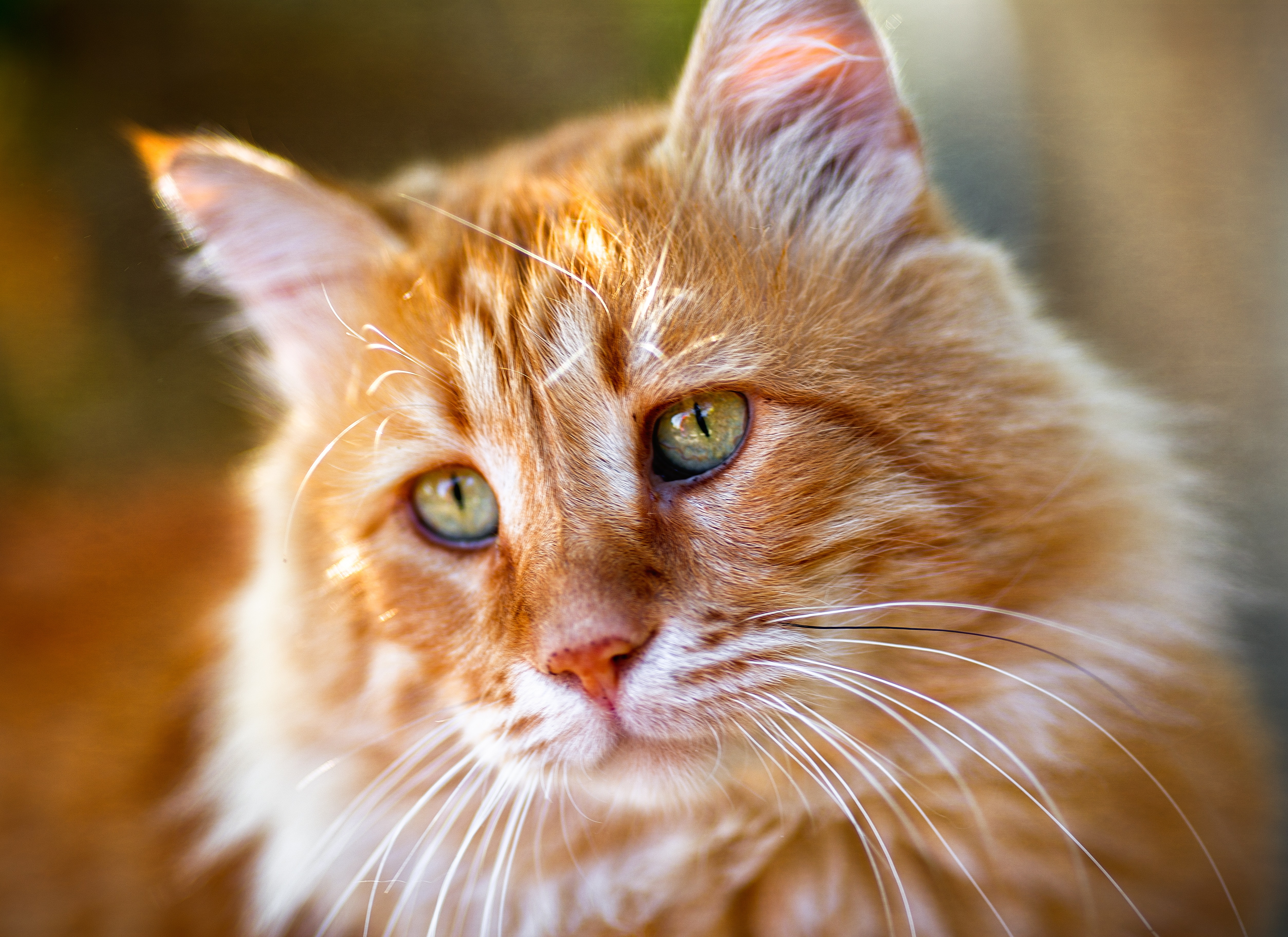 Cyprus Cat Breed Pictures