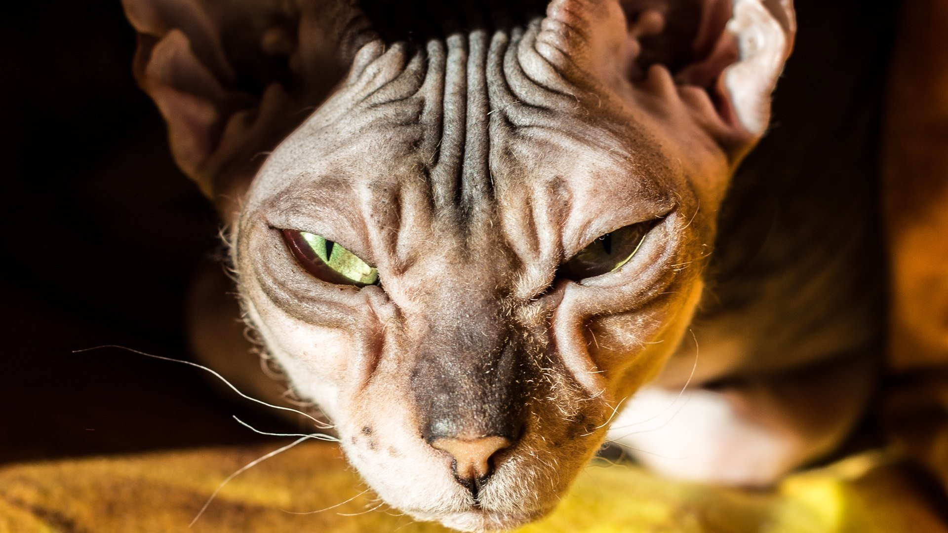 Donskoy Cat Breed Pictures