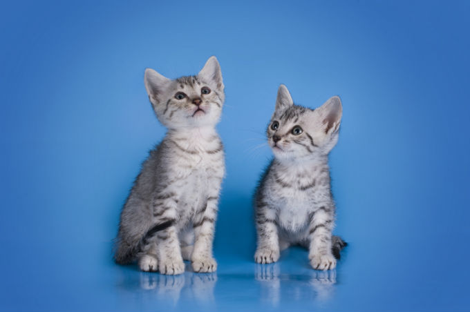 Egyptian Mau Cats And Kittens