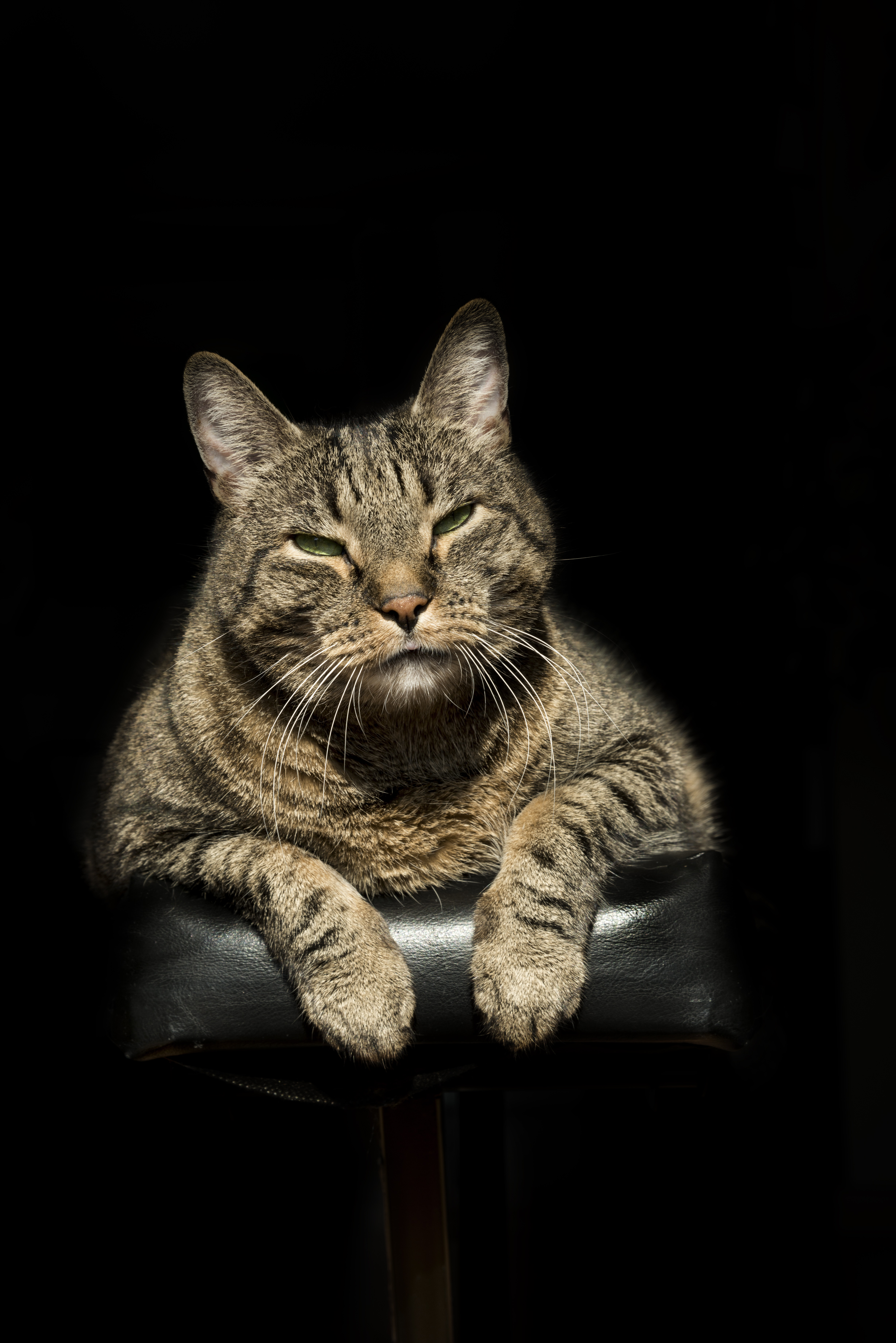 European Shorthair Cat Breed Pictures