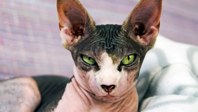 Hairless Cats Don't Just Come In Pink