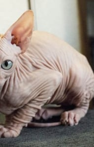 There Are Several Breeds Of Hairless Cats