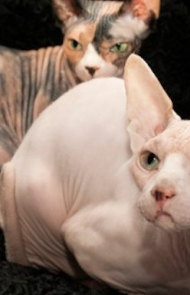Hairless Hypoallergenic Cats Are A Bit Of A Myth