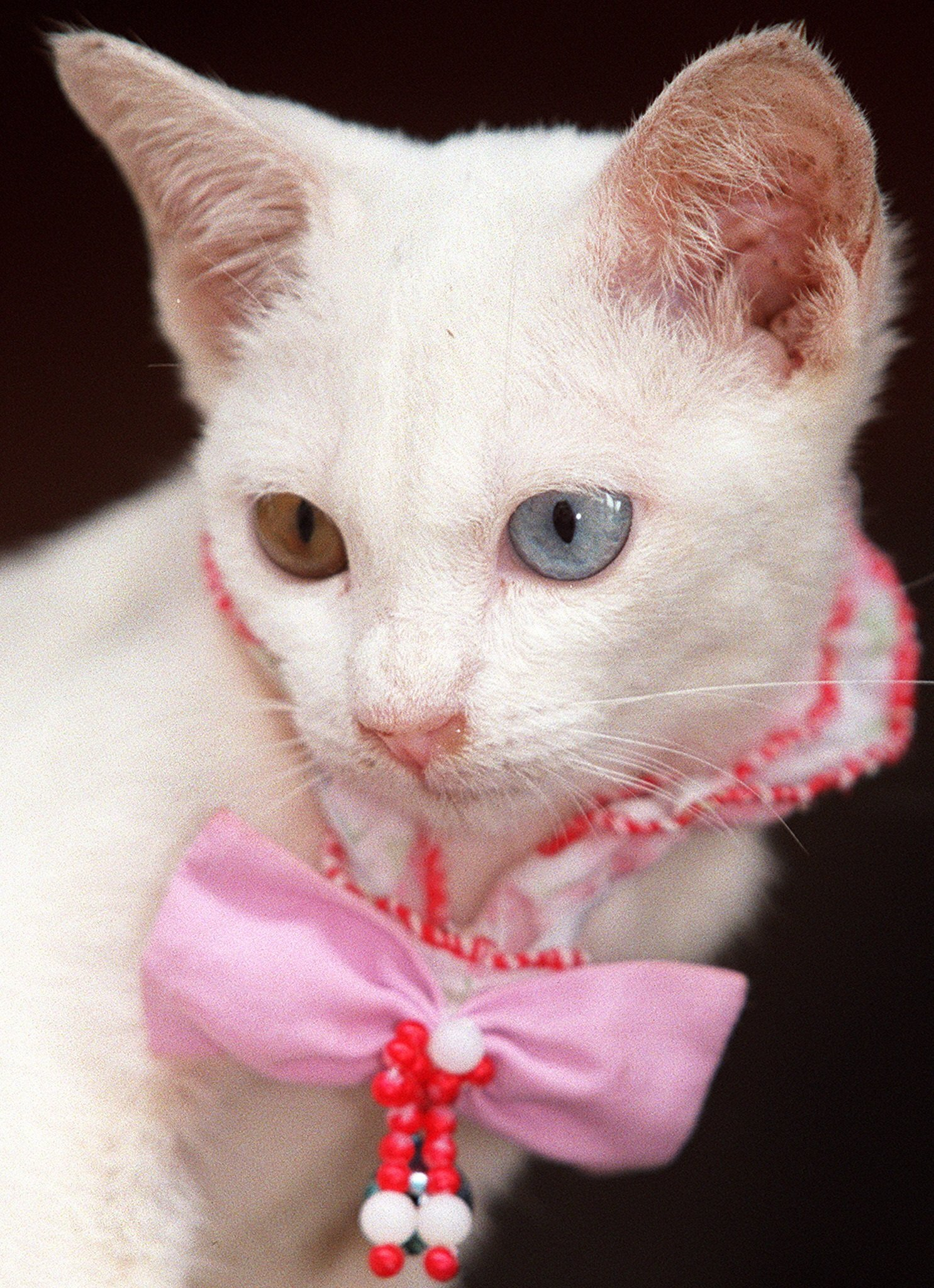 Khao Manee Cat Breed Pictures