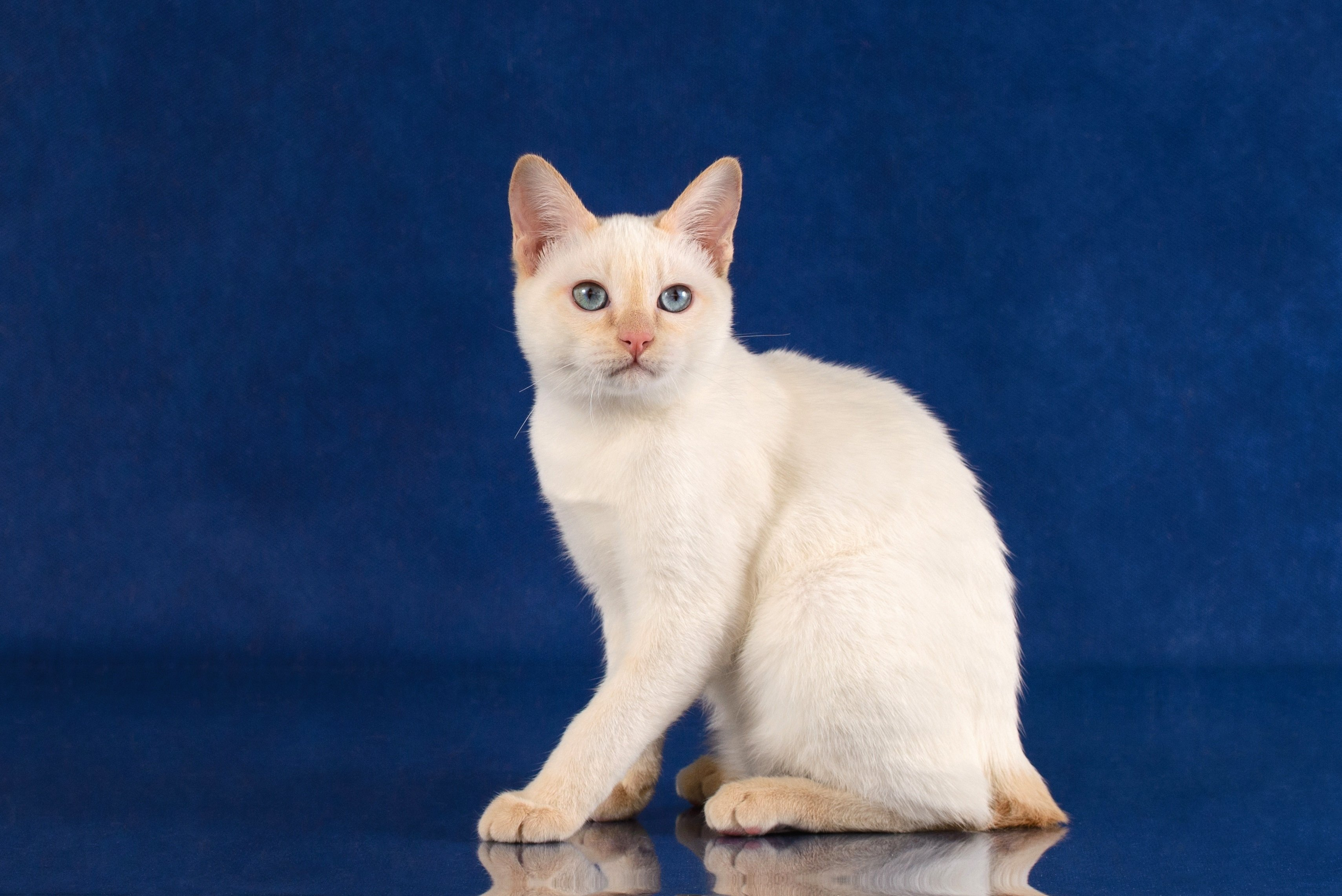 Mekong Bobtail Cat Breed Pictures