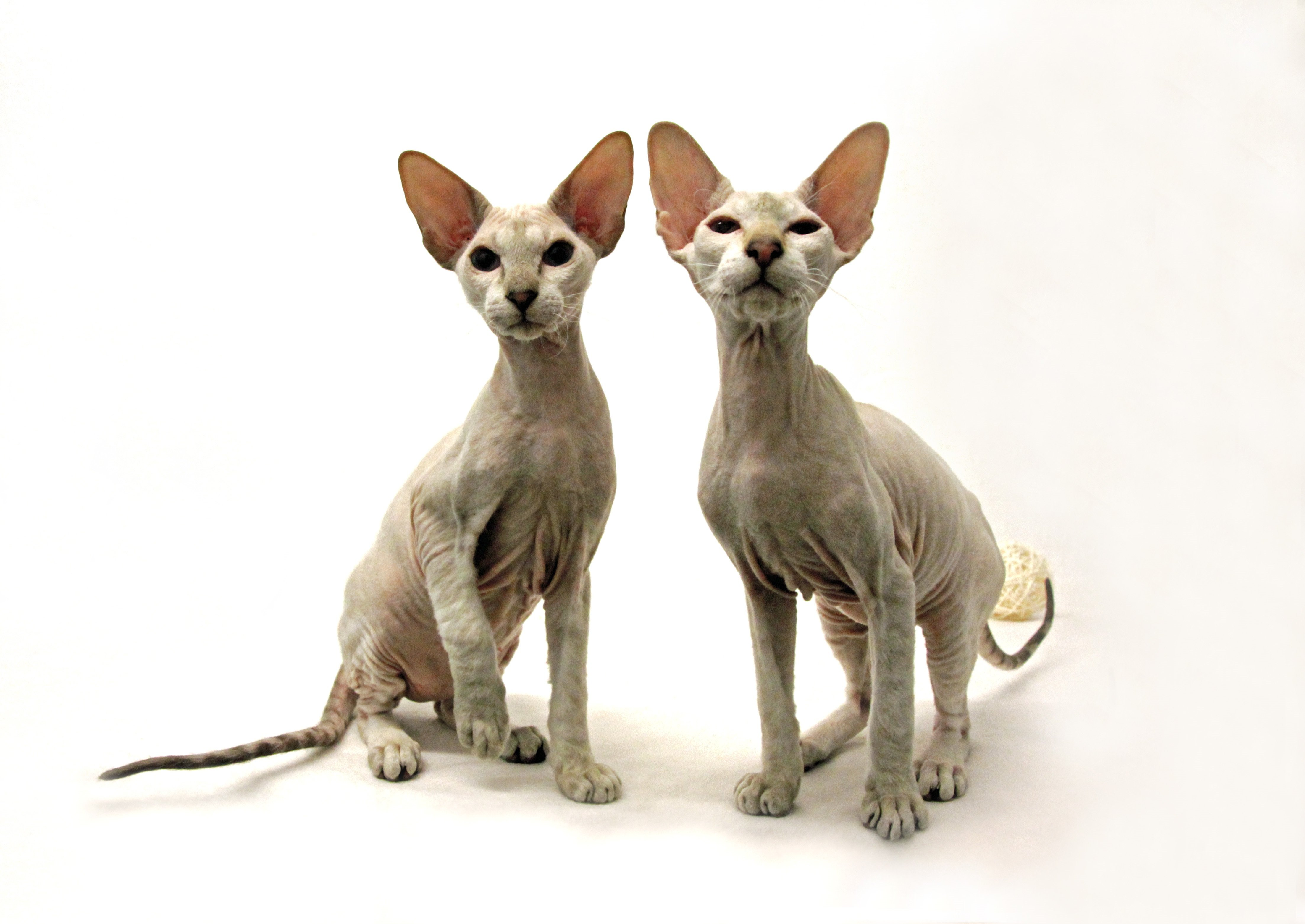 Peterbald Mixed Cat Breed Pictures