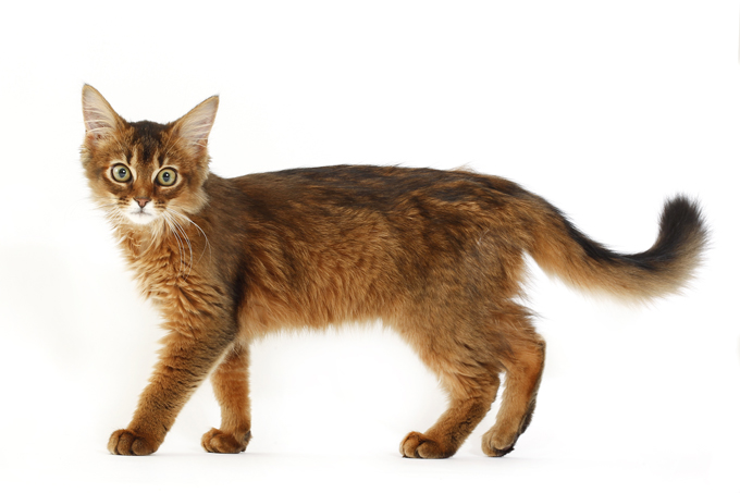 Somali Cats And Kittens