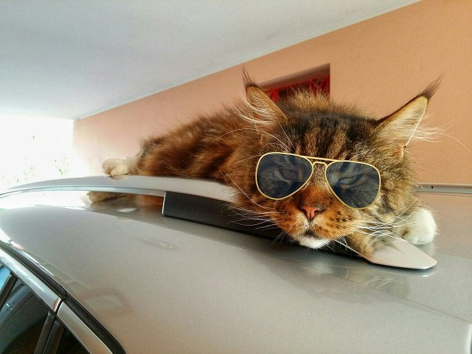 The coolest cat on a hot car roof.