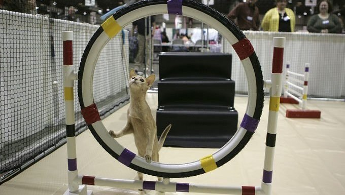Get Ready For An International Cat Agility Tournament